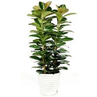 고무나무(사기분)